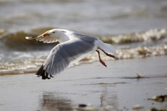 seagull-2654561_1920