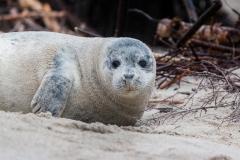 grey-seal-1969546_1920